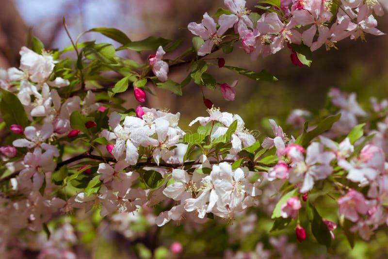 вал весны ветви цветений цветеня яблока стоковое фото rf