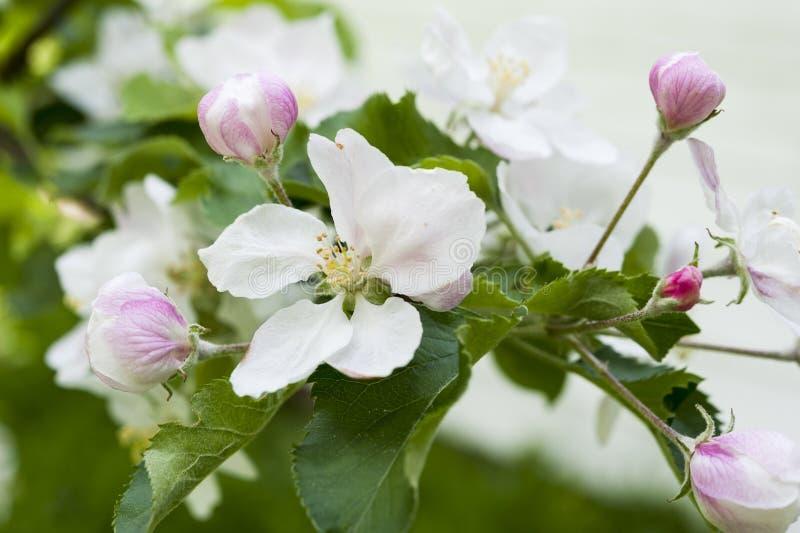 вал весны ветви цветений цветеня яблока стоковая фотография rf