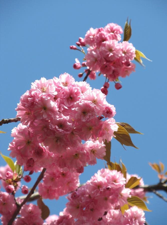 Вал вишни весной стоковые фото