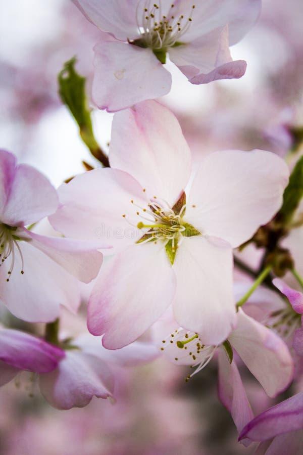 Вал вишни весной стоковые фотографии rf
