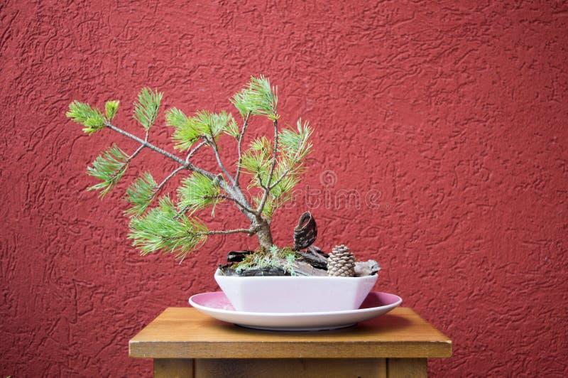 вал сосенки бонзаев вечнозеленый миниатюрный стоковая фотография