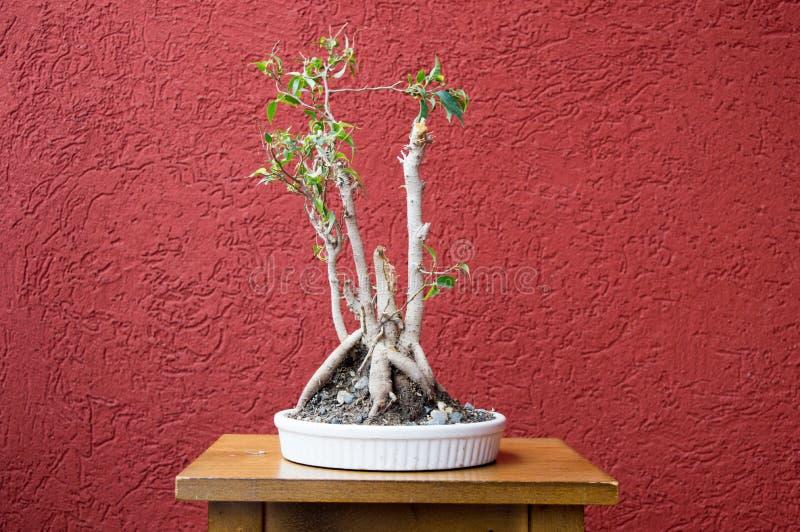 вал сосенки бонзаев вечнозеленый миниатюрный стоковое фото rf