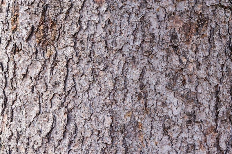 вал текстуры тополя расшивы старый стоковое фото rf