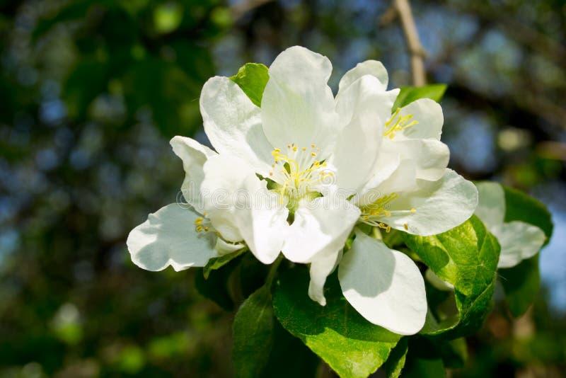 вал яблока зацветая стоковые изображения
