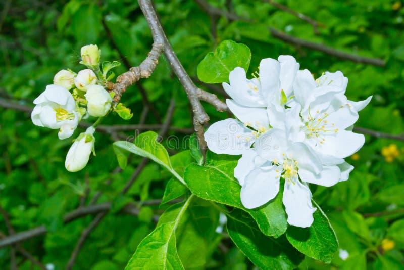 вал яблока зацветая стоковые фотографии rf