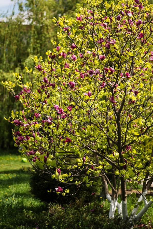 вал magnolia цветеня стоковые фото