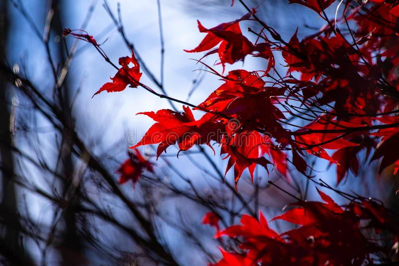 Вверх по близкой на красных листьях дерева японского клена в осени стоковые фотографии rf