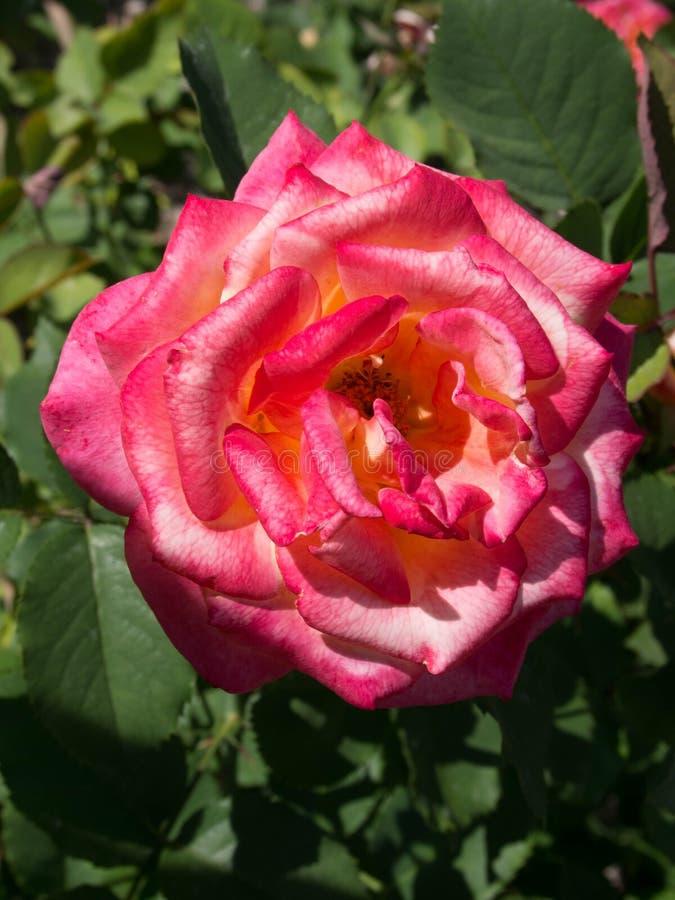 Вверх по концу красивых красного цвета и белой розы стоковые фотографии rf