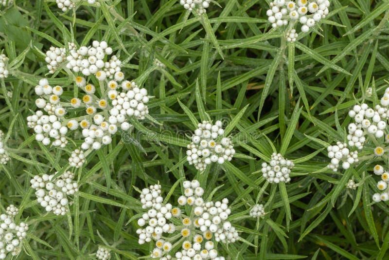 Вековечное Anaphalis или triplinervis жемчужное, серии предпосылки белых цветков r стоковое фото rf