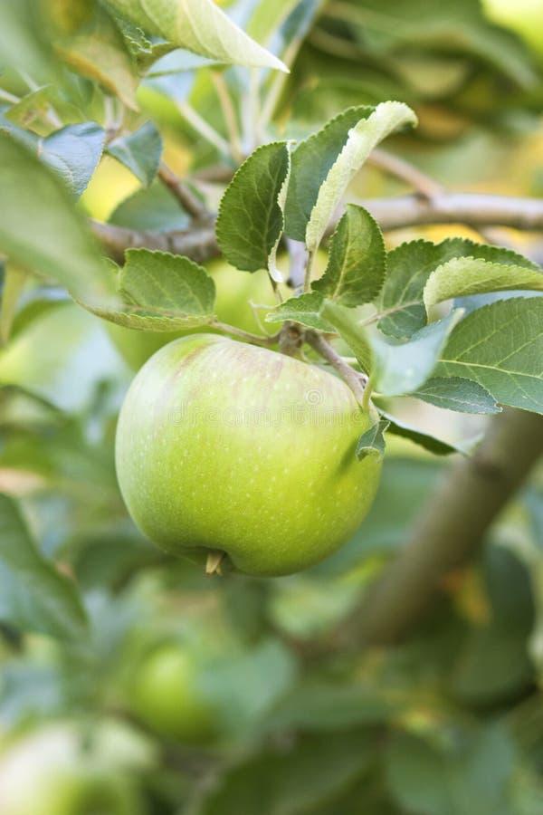 вектор вала иллюстрации яблока красивейший стоковые фотографии rf