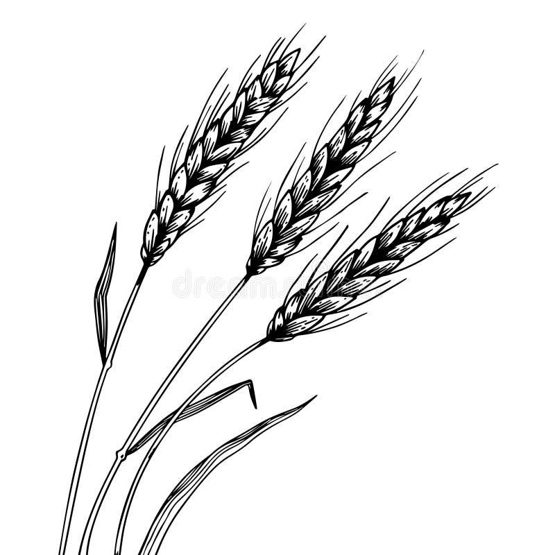 Вектор гравировки колоска уха пшеницы иллюстрация штока