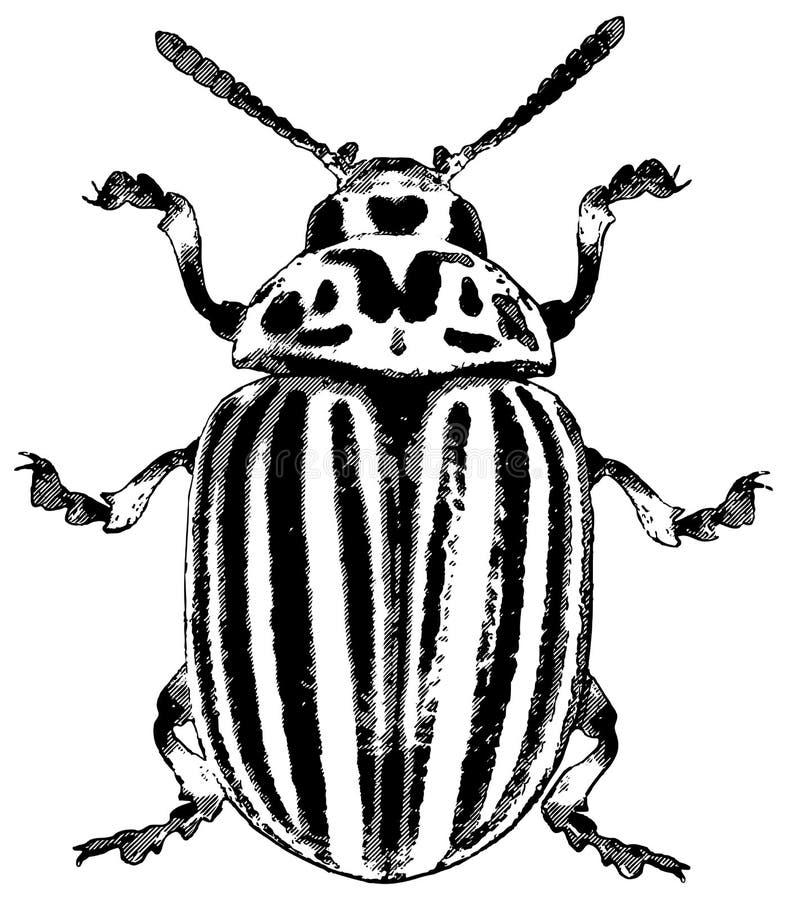 вектор иллюстрации colorado жука иллюстрация штока