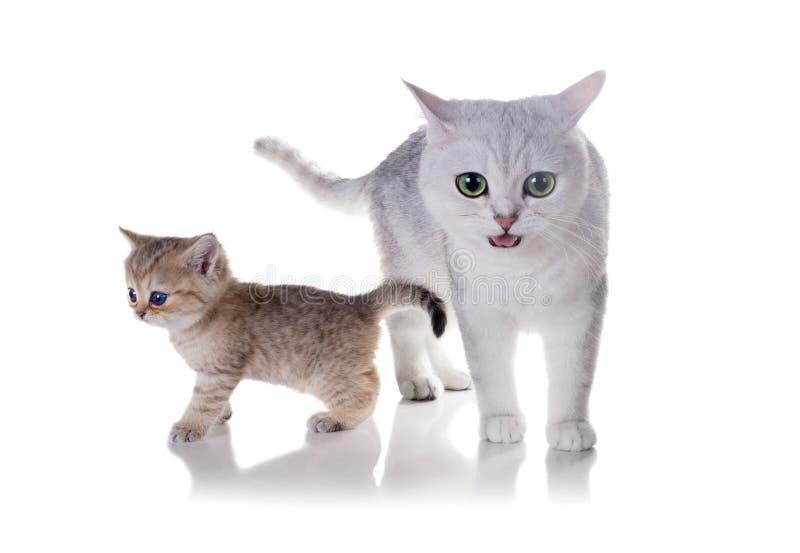 вектор котенка иллюстрации кота Шиншилла британцев Shorthair Изолированный на белом backgro стоковое изображение rf