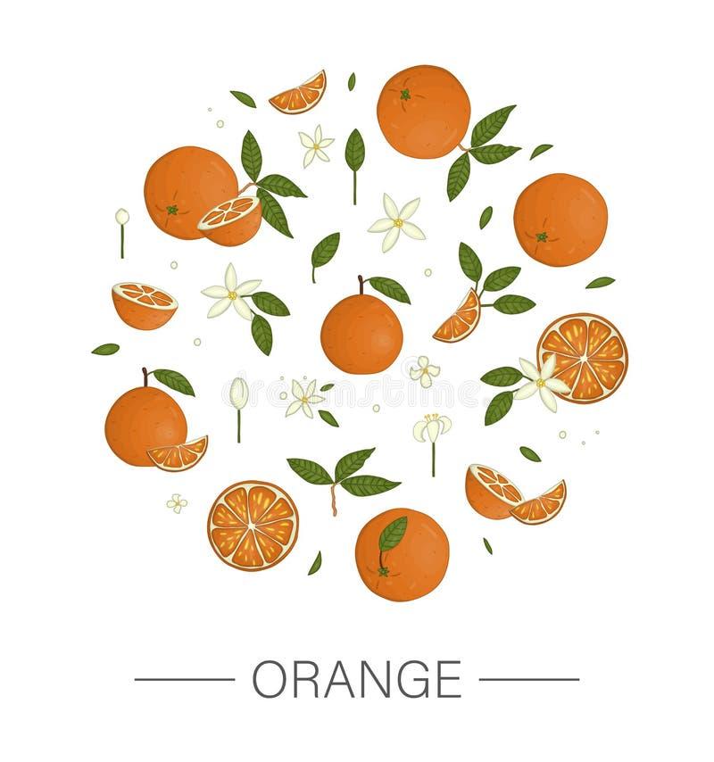 Вектор покрасил набор апельсинов обрамленных в круге изолированном на белой предпосылке иллюстрация вектора