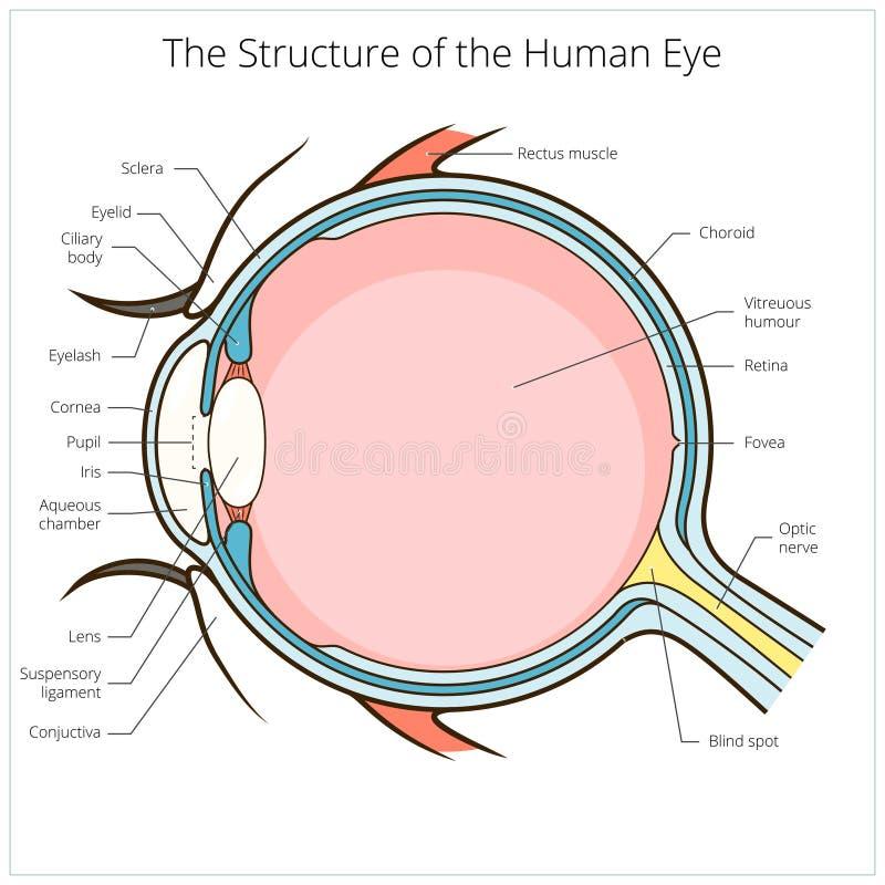 Вектор схемы структуры человеческого глаза иллюстрация штока