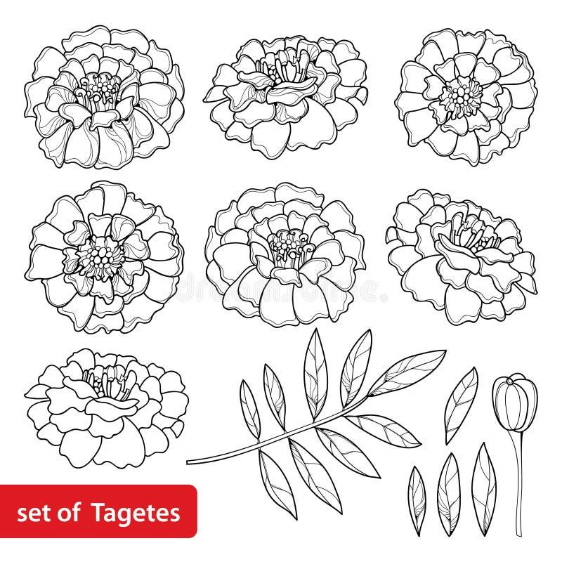 Вектор установил при цветок Tagetes или ноготк, бутон и лист в черноте изолированные на белой предпосылке Богато украшенные цветк