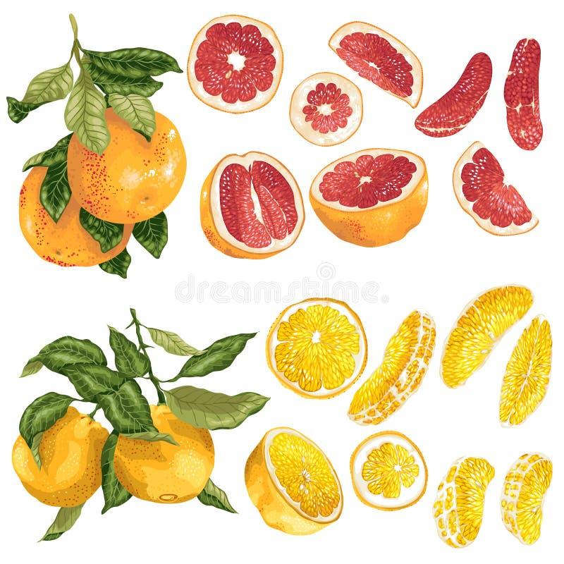 Вектор установил с апельсином и цитрусовыми фруктами и кусками грейпфрута в реалистической графической иллюстрации иллюстрация штока