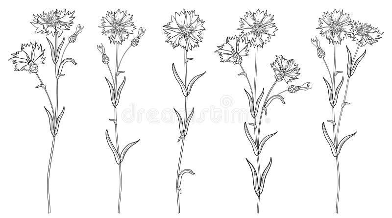 Вектор установил с цветками пуком, бутоном и лист Cornflower или Knapweed или василёка плана в черноте изолированными на белой пр бесплатная иллюстрация