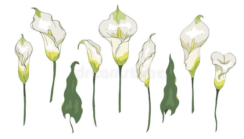 Вектор установил с цветком или Zantedeschia лилии Calla, изолированными на белой предпосылке бесплатная иллюстрация