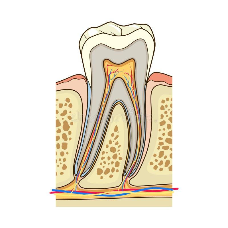 Вектор человеческой структуры зуба медицинский бесплатная иллюстрация