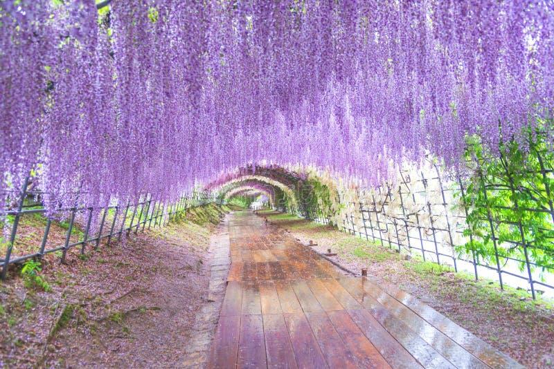 Великая волшебная цветочная арка Туннель Вистерия в Кавачи Фудзи Гарден Фукуока, Япония стоковое изображение
