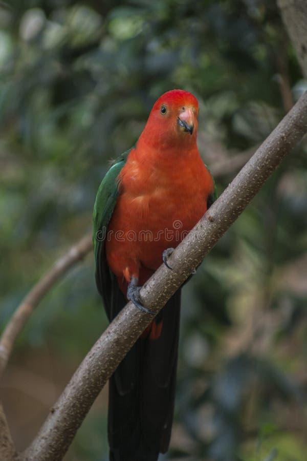 Великий попугай Австралии стоковая фотография