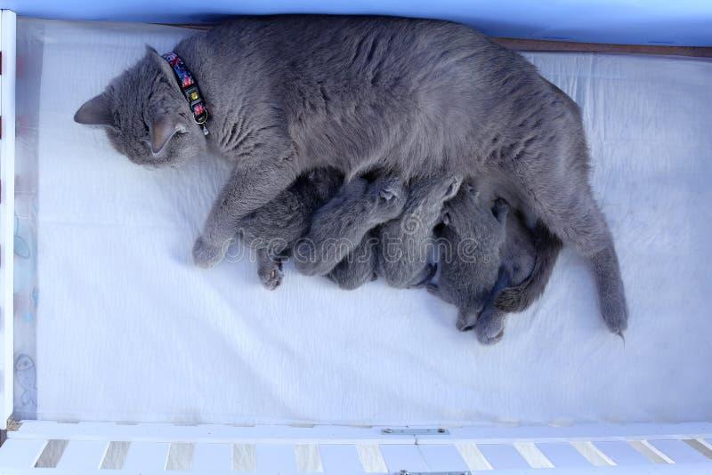 Великобританская мать Shorthair кормить ее младенцев, взгляд сверху стоковые фотографии rf