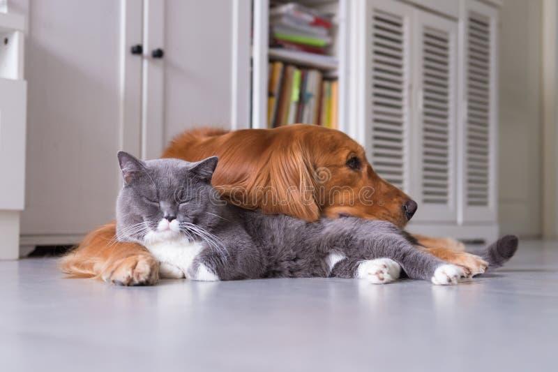Великобританские коты shorthair и золотой Retriever стоковое изображение