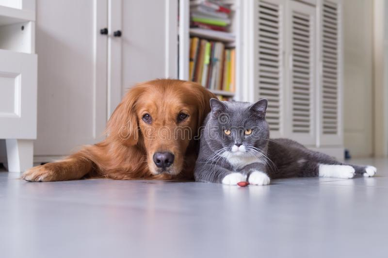 Великобританские коты shorthair и золотой Retriever стоковая фотография rf