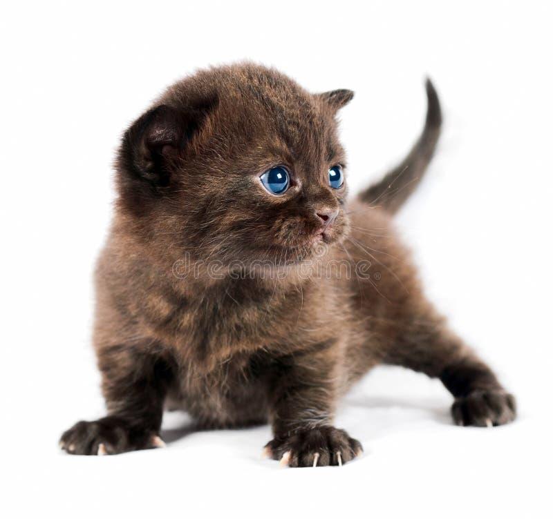 великобританский коричневый котенок стоковые фотографии rf