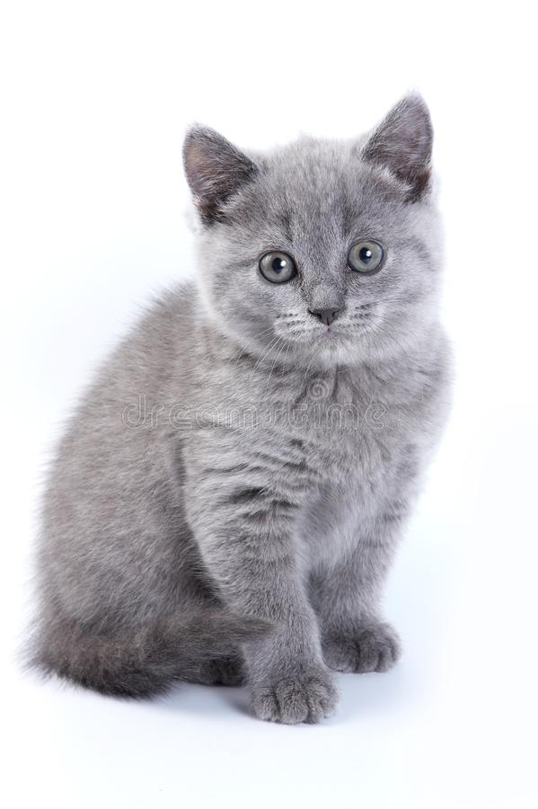 Великобританский котенок кота стоковые фотографии rf