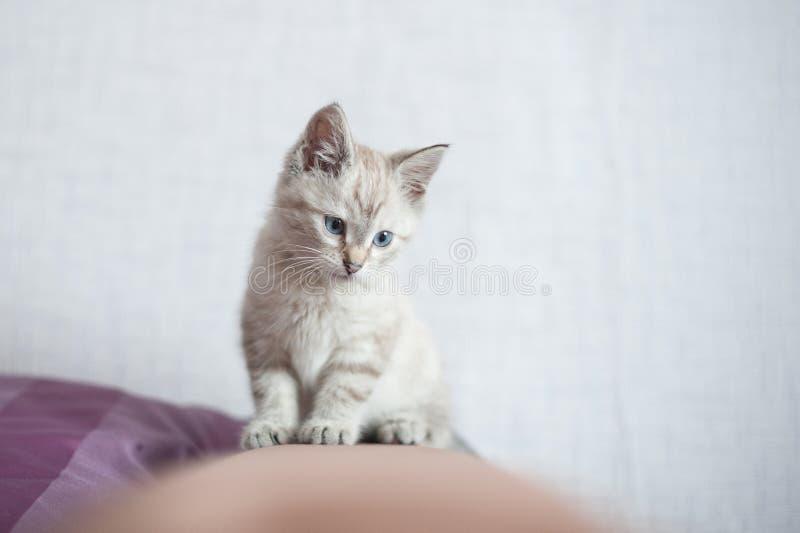 великобританский котенок немногая стоковое фото