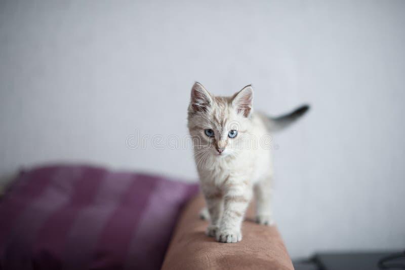 великобританский котенок немногая стоковые фотографии rf