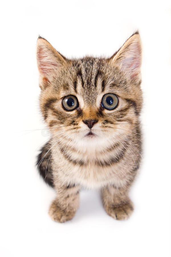 великобританский котенок стоковое фото