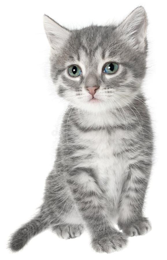 великобританский котенок стоковое изображение rf
