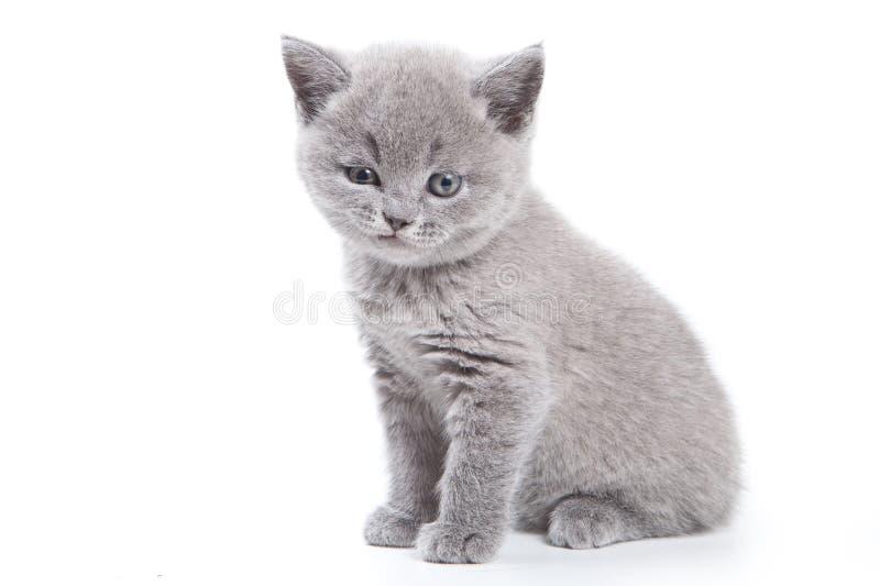 великобританский котенок стоковые фото