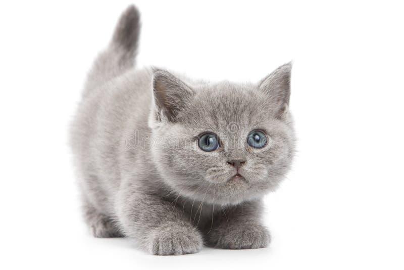 великобританский котенок стоковая фотография rf