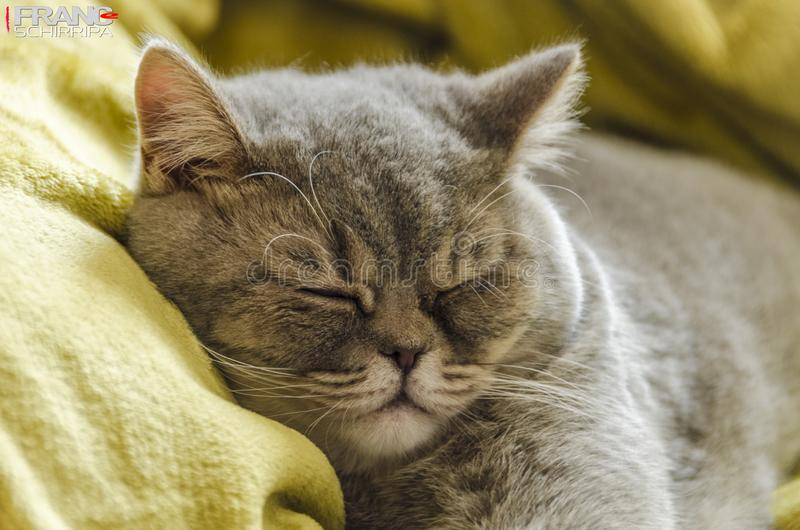 Великобританский котенок shorthair в покое стоковая фотография rf