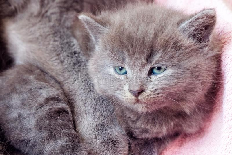 Великобританский котенок Shorthair стоковые изображения rf