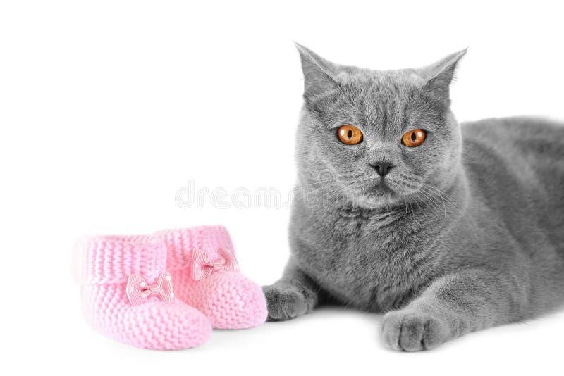 Великобританский кот и маленькие ботинки младенца на изоляции стоковые фото