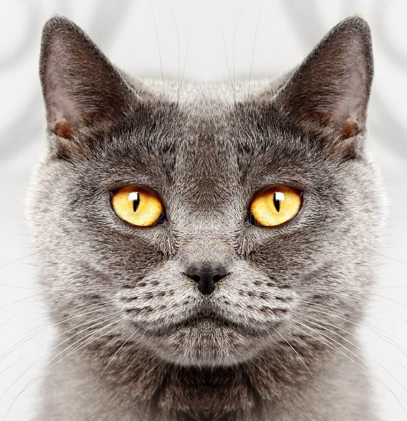Великобританский кот коротких волос стоковое фото rf