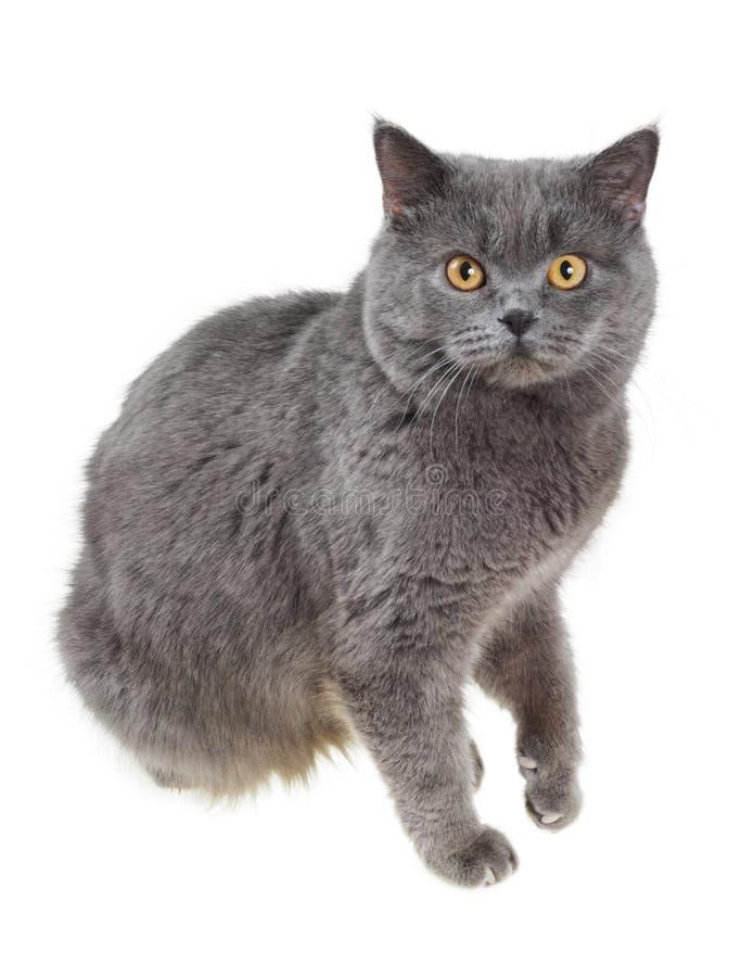 великобританский кот сидит stares стоковая фотография
