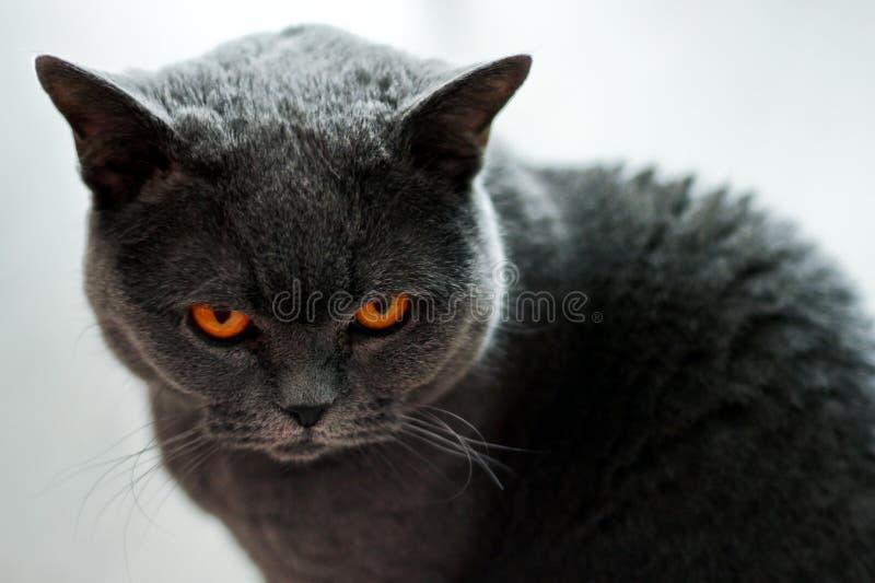 Великобританский кот смотрит сердитым на вас стоковые фото