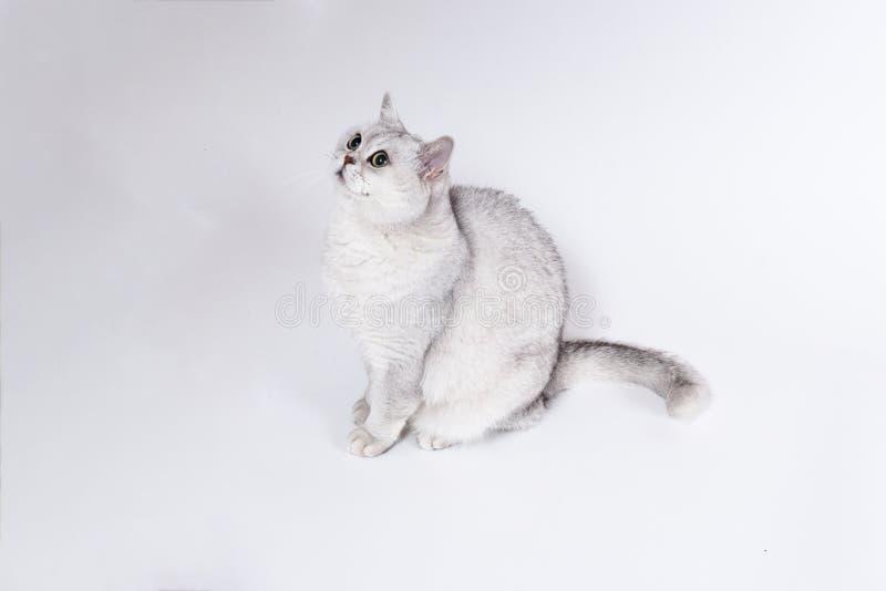 Великобританский кот Lorthair закоптелый изолированный на белом ждет стоковые изображения rf
