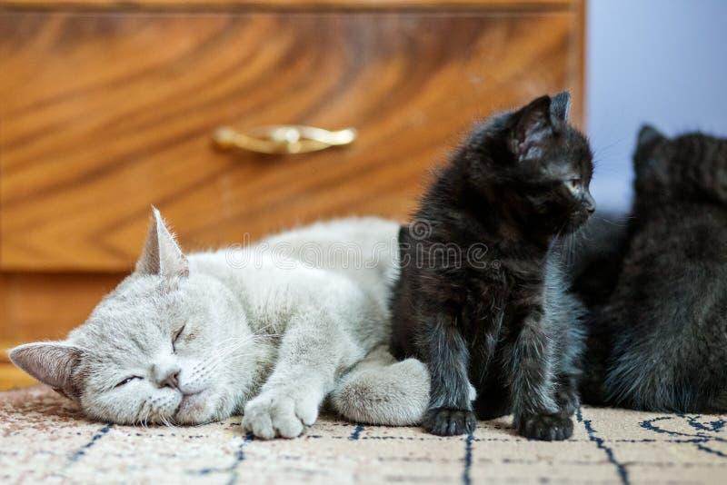 Великобританский прямой кот спать около маленького котенка Концепция любимцев стоковые фото