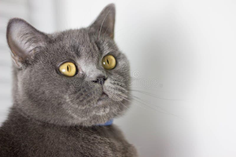 Великобританский серый кот в воротнике стоковое изображение rf