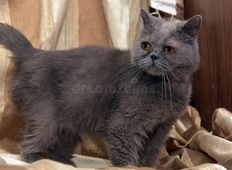 Великобританский серый кот shorthair стоковые изображения
