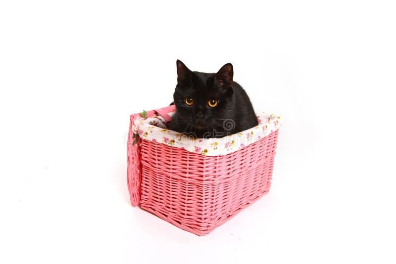 Великобританский черный кот в розовой корзине изолированной на белой предпосылке стоковая фотография rf