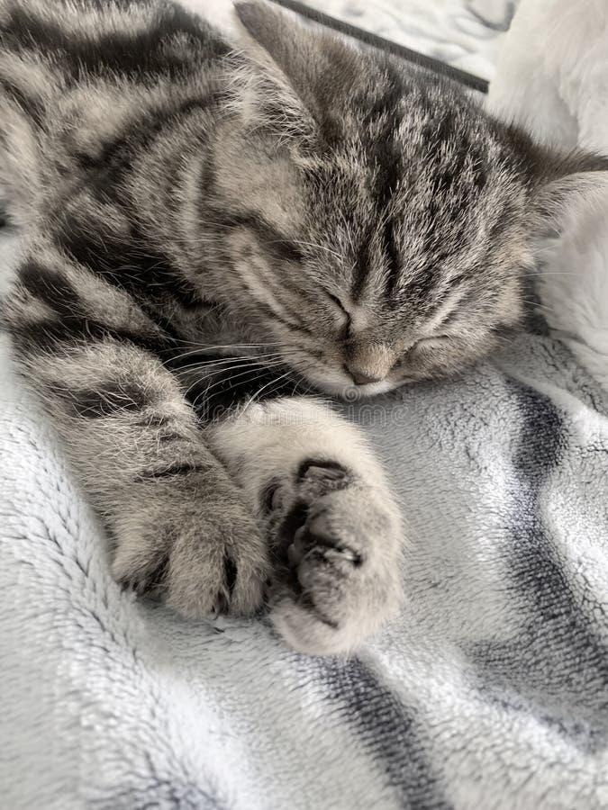 великобританский tabby кота стоковое изображение rf