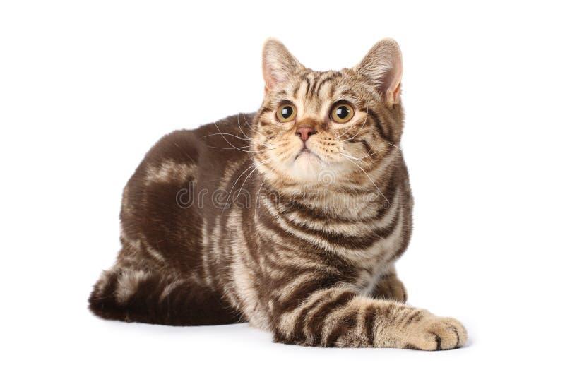 Download великобританский Tabby кота Стоковое Фото - изображение насчитывающей любимчик, ангстрома: 6863686